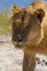 2019-06-18 10-04-44 (marionausserladscheider) Tags: löwen tiere afrika botswana chobe choberiver choberiverfront lion