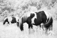 Grazing in the Meadow (GeorgeKBarker) Tags: horse mare foal graze black white mono monochrome infrared 720 720nm glow field meadow grass tail hair