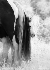 Mare and Foal (GeorgeKBarker) Tags: horse mare foal graze black white mono monochrome infrared 720 720nm glow field meadow grass tail hair