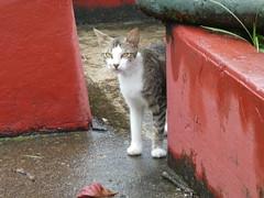 Costa Rican Feral Cat (Stabbur's Master) Tags: costarica limon cats kitty kitten kitties feralcat limonferalcat costaricaferalcat centralamerica centralamericanferalcat tabbycat