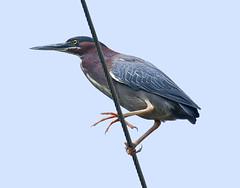 Green Heron (Eric C. Reuter) Tags: birds birding nature wildlife ny catskills hancock lake cabin july 2019 070419 greenheron delawareriver herons