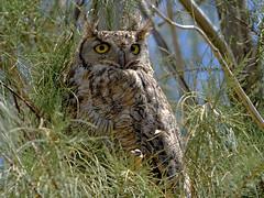 Daylight Owl (Marc Briggs) Tags: dsc51911aw owl greathornedowl bubovirginianus bubo raptor bird birdofprey birds animal wildlife wild avian carrizoplain carrizoplainnationalmonument