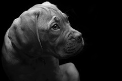 Low Key Black and White (Kev Gregory (General)) Tags: low key black white mabel dogue de bordeaux french mastiff pup puppy studio strobe flash kev gregory canon 7d mark 2 ii