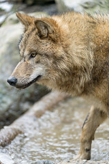 Wolf at the frozen water (Tambako the Jaguar) Tags: wolf mongolian canid canine dog brown action profile portrait face close winter cold water ice zürich zoo switzerland nikon d5