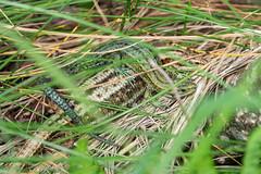 Green on Yellow (Philip McErlean) Tags: green common viviparous lizard gravid female basking reptile lucertola eidechse lagartija lézard zootoca vivipara irishwildlife