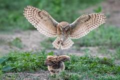 Fast food delivery!! (Hilary Bralove) Tags: burrowingowls burrowingowl owl owls nature nikon colorado coloradobirds coloradowildlife bird birds wildlife wildbirds