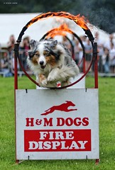 Barton Cruftz 2019, Barton upon Humber (SteveH1972) Tags: canon700d 700d canon canon70200 nonis 70200 dogshow dog bartoncruftz bartoncarnival bartonuponhumber barton northlincolnshire lincolnshire lincs uk outdoor outdoors outside britain ring fire jump jumping