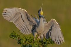 Yellow-Crowned Night-Heron (Kevin E Fox) Tags: yellowcrownednightheron nightheron heron oceancity newjersey nj rookery nature nikond500 nikon bird birdwatching birding birds birdphotography sigma150600sport sigma shorebirds shorebird