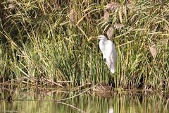 La Grande Aigrette (Ardea alba) - The Great Egret (Alain Denis) Tags: grandeaigrette ardeaalba greategret oiseau oiseauxéchassier oiseauxdeau