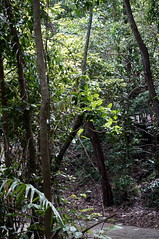 Plant architecture (s81c) Tags: green verde rainforest forestapluviale forest foresta branches rami leaves foglie trees alberi flora light luce shadow ombra road strada trail path sentiero lighthouseroad fitzroyisland fitzroyislandnationalpark queensland australia tropical tropicale