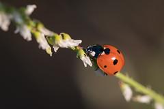seven-spot Ladybird (holgerreinert) Tags: 2019 butterfly gx80 june juni lumix m43 mzuiko60mm marbledwhite meadow melanargiagalathea microfourthirds schachbrettfalter schmetterling wiese mft