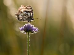 Marbled White (holgerreinert) Tags: 2019 butterfly gx80 june juni lumix m43 mzuiko60mm marbledwhite meadow melanargiagalathea microfourthirds schachbrettfalter schmetterling wiese mft