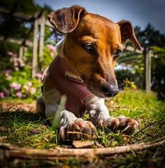 My walking companion. (Darren Speak) Tags: yorkpark summer sunny lowdown pet honey dog