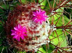 Quinta-flower (sonia furtado) Tags: quintaflower flower flor coroadefrade cactus boanova lajedodobeijaflor ba nordeste brasil brazil soniafurtado