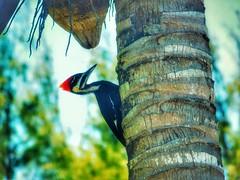 (Reinley) Tags: wildlife woodpeckers woodpecker birds