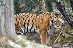 Sayan among the trees (Tambako the Jaguar) Tags: tiger big wild cat siberian amur male posing standing portrait trees vegetation zürich zoo switzerland nikon d5