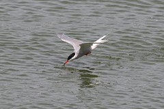 0M2A3354 Common Tern