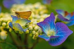モスラ (Mothra) (L@nce (ランス)) Tags: moth flower godzilla mothra モスラ macro micro nikkor nikon jamesbay canada victoria britishcolumbia
