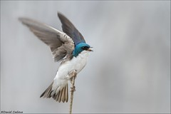Tree Swallow Balancing Act. (Daniel Cadieux) Tags: swallow treeswallow wings ottawa balance balancing