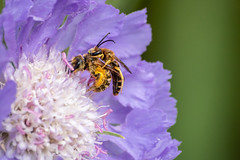 Great Banded Furrow-Bee   Halictus scabiosae (BMelzer Fotografie) Tags: bee pollen pollination flower head blooming floral plant blossom bloom flora garden closeup natural great banded furrowbee halictus scabiosae scabiosa sommer purple canon eos 750d sigma 70300 makro macro