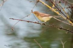 Hyppolais polyglotte (Melodious Warbler) (denis.loyaux) Tags: france oiseaux ariège midipyrenees mazères nikond850 domainedesoiseaux denisloyaux nikon 600 f4 afs