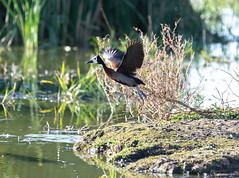 White-Faced Whistling Duck (swmartz) Tags: nikon nature outdoors wildlife waterfowl ducks june 200500mm 2019 white whistling gaborone botswana africa martz