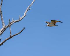 Osprey Sky (rikioscamera) Tags: bolsachicaecologicalreserve huntingtonbeach birds d750 lightroom nature nikon wildlife osprey raptor branch sky tree