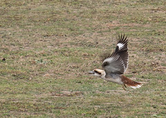 Go kookaburra go (grannie annie taggs) Tags: kookaburra flight bird nature australia