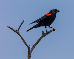 Male Red-winged Blackbird (johnny4eyes1) Tags: birding nationalparkservice icterid redwingedblackbird seashore nps birdwatching birds outdoors ornithology fauna gatewaynationalwildlifepreserve bird blackbird