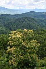 Sourwood Tree in Bloom (esywlkr) Tags: landscape forest sky clouds mountains brp blueridgeparkway nc northcarolina sourwoodtree warrenreed