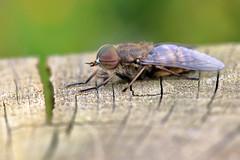 Tabanus bromius (male!) (PJ Swan) Tags: tabanus bromius horsefly insect macro