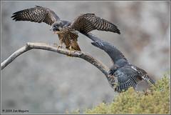 Fledglings 6527 (maguire33@verizon.net) Tags: falcoperegrinus fledgling peregrinefalcon bird birdofprey falcon peregrine raptor wildlife