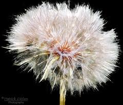 Dandyworks (Patrick Dirlam) Tags: birds landbirds trips morrobaylosososcayucos arizona watsonlake dandelion fireworks 4thofjuly