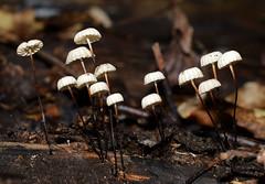 Pinwheel Mushroom (jmunt) Tags: mushroom fungi marasmiusrotula pinwheelmushroom