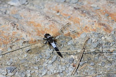 Chalk-fronted Corporal Dragonfly (Ladona julia) (Gerald (Wayne) Prout) Tags: ontario julia dragonfly corporal northernontario ladona chalkfronted ladonajulia northeasternontario chalkfrontedcorporaldragonfly gillieslakeconservationarea cityoftimmins camera city canada digital canon lens photography eos conservation trail promenade area dslr photographed northern timmins northeastern prout gillieslake ef70300mmf456isusm 60d canoneos60d geraldwayneprout canonlensef70300mmf456isusm animalia arthropoda odonata libellulidae insecta anisoptera hexapoda nature animal animals insect dragonflies wildlife insects bugs skimmers