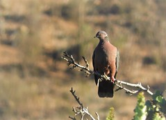 Life Bird: Chilean Pigeon (Ruby 2417) Tags: chilean pigeon dove bird wildlife nature caiceo forest ovalle chile eclipse