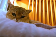 Golden hour (7 Blue Nights) Tags: groundlevel flickrfriday cat animal pet gold orange green eyes cute face portrait