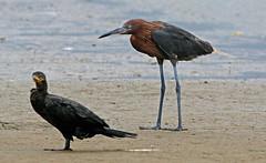 Reddish Egret, Neotropic Comorant (1krispy1) Tags: egrets cormorant texasbirds neotropiccormorant reddishegret