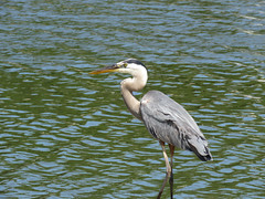 A blue morning (Laura Rowan) Tags: greatblueheron gbh heron bird birding summer elmhurst dupage morning early windy