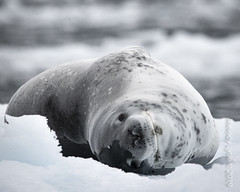 Leopard Seal (karenmelody) Tags: animal animals mammal antarctica mammals vertebrate vertebrates leopardseal crabeaterseal hydrurgaleptonyx familyphocidae lobodoncarcinophagus