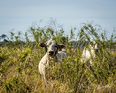 dinner-island_fb_121617-16 (ccgrin) Tags: 2017 wma animals cattle clewiston cow dinnerisland florida nature park pet