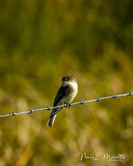 dinner-island_fb_121617-14 (ccgrin) Tags: 2017 wma clewiston dinnerisland easternphoebe florida park tyrantflycatcherfamily immokalee unitedstates