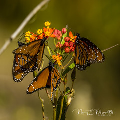 dinner-island_fb_121617-11 (ccgrin) Tags: 2017 wma animals brushfootfamily bug butterfly clewiston dinnerisland florida insect nature park queenbutterfly wildlife immokalee unitedstates