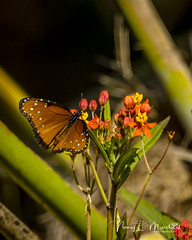 dinner-island_fb_121617-6 (ccgrin) Tags: 2017 wma animals brushfootfamily bug butterfly clewiston dinnerisland florida insect nature park queenbutterfly wildlife immokalee unitedstates