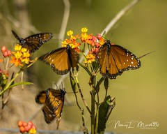 dinner-island_fb_121617-5 (ccgrin) Tags: 2017 wma animals brushfootfamily bug butterfly clewiston dinnerisland florida insect nature park queenbutterfly wildlife immokalee unitedstates