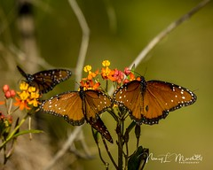 dinner-island_fb_121617-4 (ccgrin) Tags: 2017 wma animals brushfootfamily bug butterfly clewiston dinnerisland florida insect nature park queenbutterfly wildlife immokalee unitedstates