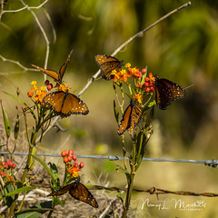 dinner-island_fb_121617-10 (ccgrin) Tags: 2017 wma animals brushfootfamily bug butterfly clewiston dinnerisland florida insect nature park queenbutterfly wildlife immokalee unitedstates