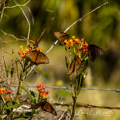 dinner-island_fb_121617-9 (ccgrin) Tags: 2017 wma animals brushfootfamily bug butterfly clewiston dinnerisland florida insect nature park queenbutterfly wildlife immokalee unitedstates