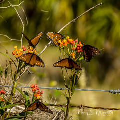 dinner-island_fb_121617-8 (ccgrin) Tags: 2017 wma animals brushfootfamily bug butterfly clewiston dinnerisland florida insect nature park queenbutterfly wildlife immokalee unitedstates
