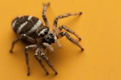What is That?_TNY_9323 (Calle Söderberg) Tags: macro canon canon5dmkii canoneos5dmarkii canon5dmarkii canonef100mmf28lmacroisusm raynox dcr250 flash godox thinklite tt685c plåtdiffusorv3 arachnida araneae salticidae saltie jumper spindel spider spinne hoppspindel jumpingspider springspinne zebraspider sebraspindel zebraspindel harlekinspindel yellow black white zebra striped stripes stripe eyecontact cute kawaii curious looking puzzled hair hairy bristles watching f22 araneomorphae